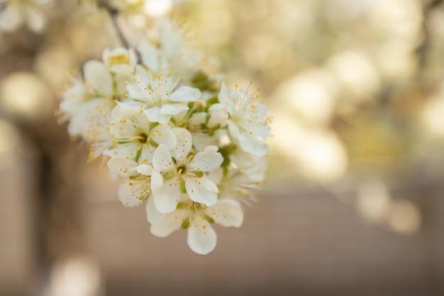 春のリンゴの花のクローズアップ。