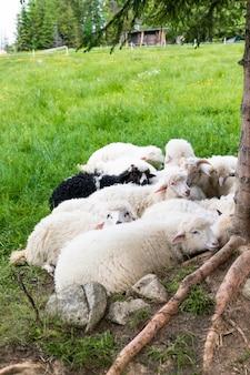 生産のために羊毛を集める農場。緑の牧草地で横になっている羊の群れ
