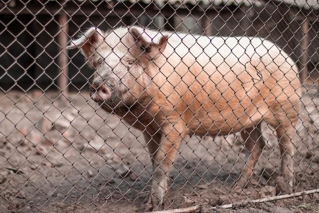 農場で餌を待っているピンクの豚