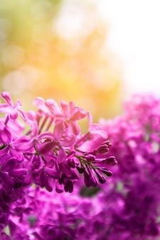 春の自然の花の背景、ピンクの紫色のライラックの花