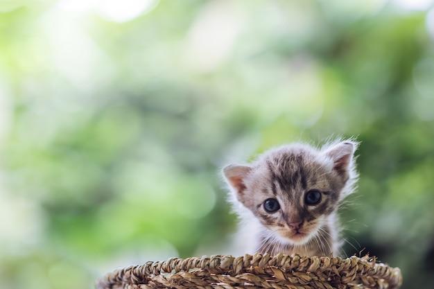 小さな新生児の青い目の子猫