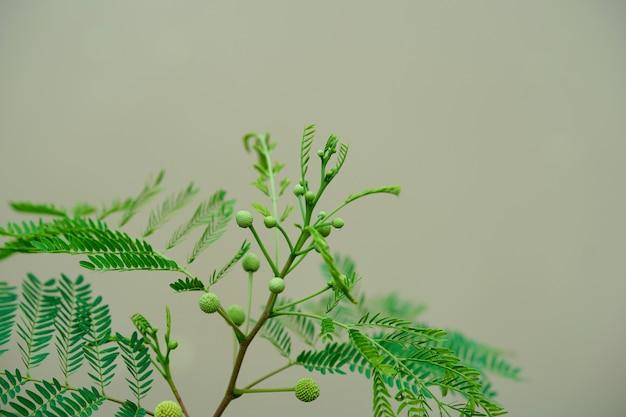 ミモザプディカの自然の枝、丸い花と芽の葉