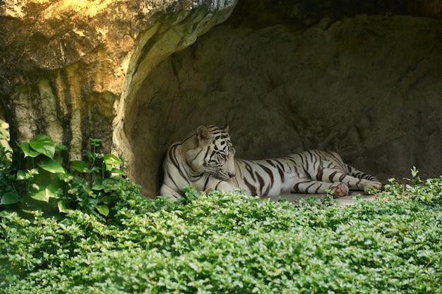 Белый или бенгальский тигр лежат в маленькой пещере с травой на переднем плане и солнечным светом