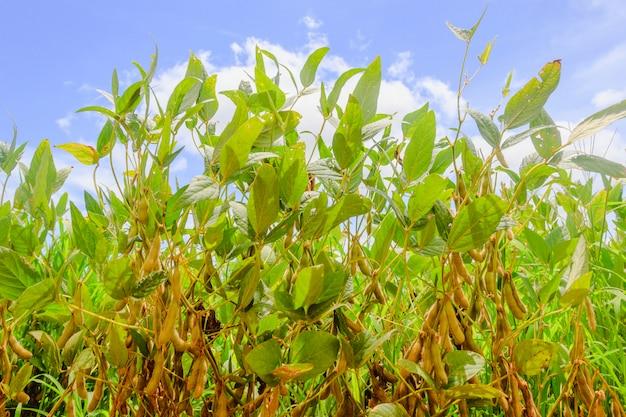 ブラジルのダイズ農園さやと大豆