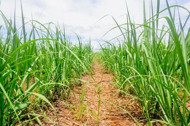 ブラジルのサトウキビ農園