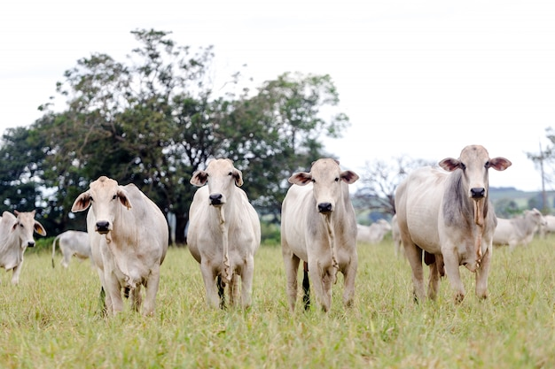 Нелоре на пастбище фермы