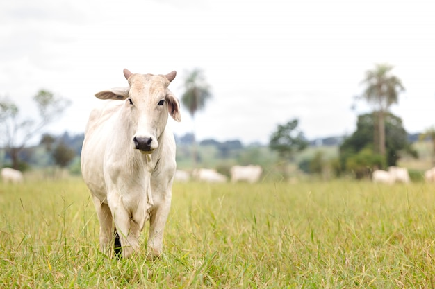 Нелорский скот в поле