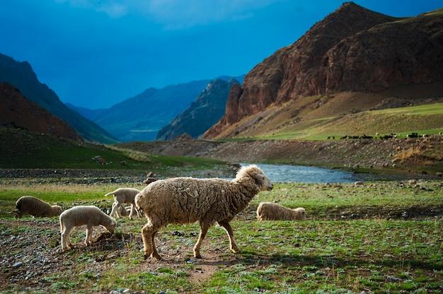 Стадо овец пересекает поле, горная река, голубое небо