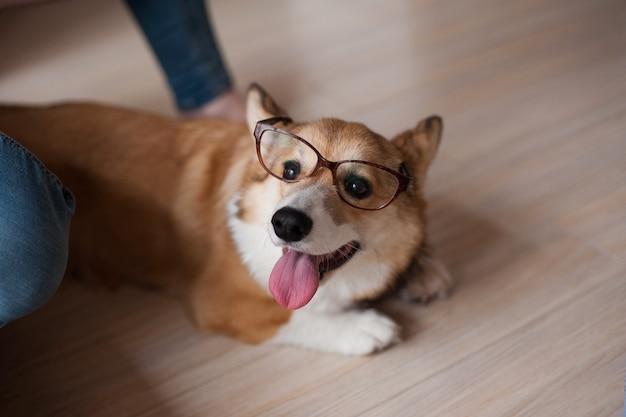 面白いウェールズコジのペンブロークの子犬、眼鏡の家、幸せな笑顔の犬