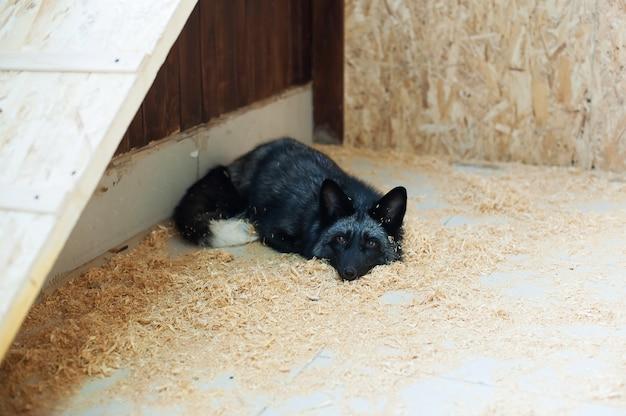 接触動物園の黒いキツネ。農場のペット。