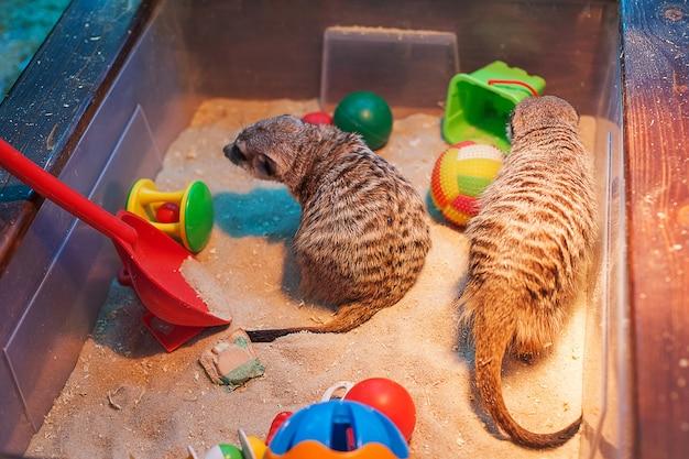 動物園のミーアキャット。辛い。