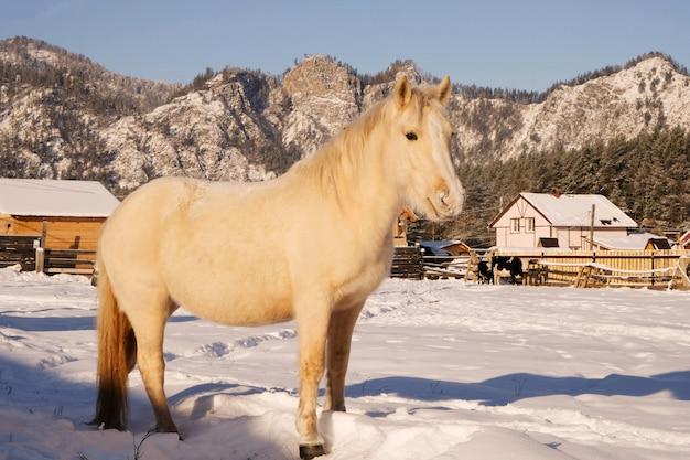 安定した白い馬