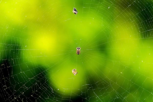 クモの巣と大胆なジャンピングクモのクローズアップビュー
