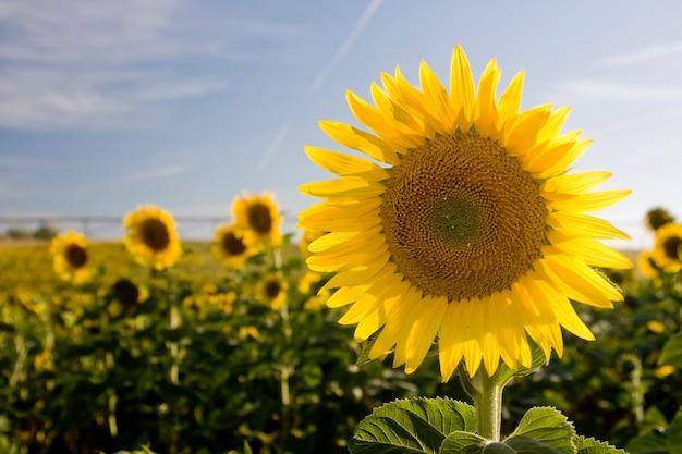 ひまわりの花の眺めはひまわりの広大なフィールドにクローズアップ。