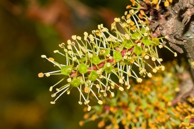 Цветут цветы рожкового дерева