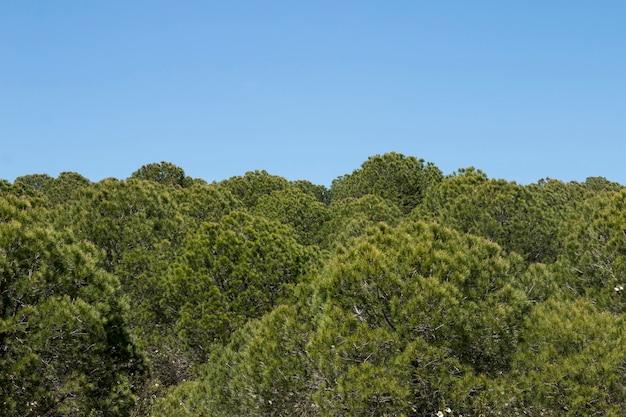 若い松の木