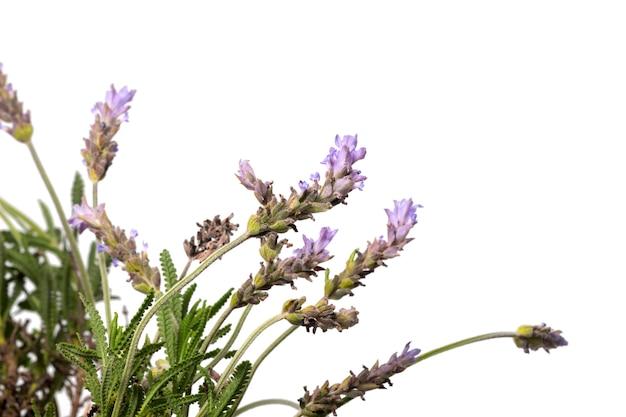 小葉ラベンダーの花