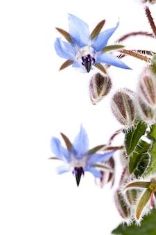 Цветок огуречника