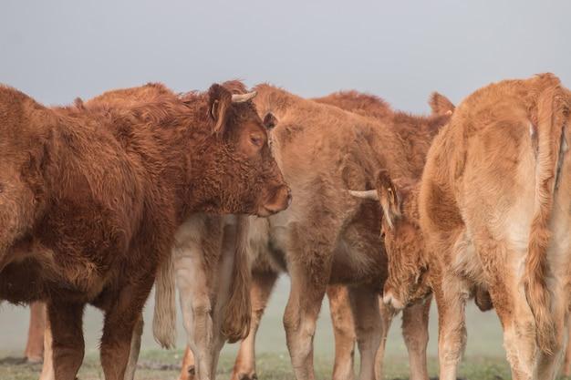 茶色の牛の束
