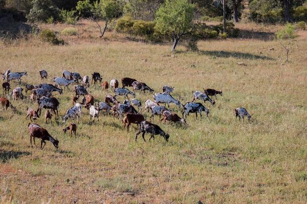 田舎の牧草地でヤギの群れの眺め。