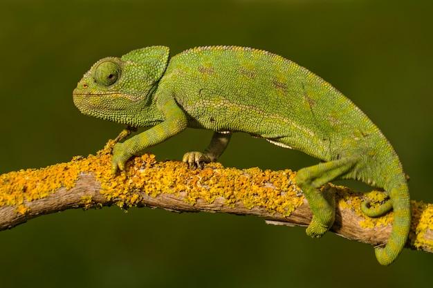 Закройте вверх по взгляду милого зеленого хамелеона на одичалом.