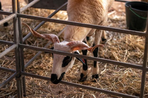 農村フェアの黒と白のヤギ