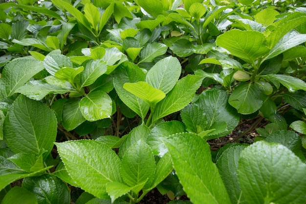 Гортензия листья растений