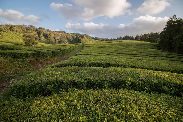 ゴレアナ茶畑