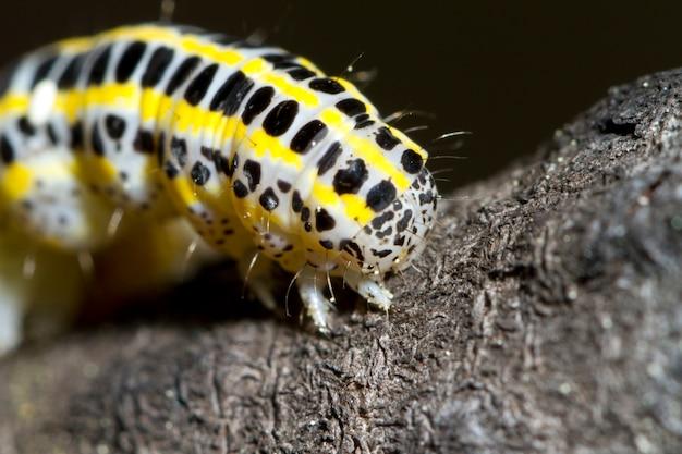 キャベツの幼虫