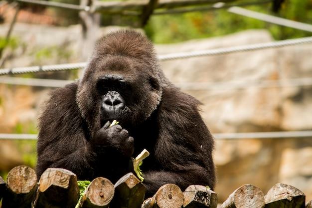 Взгляд гориллы западной низменности (гориллы гориллы гориллы) на зоопарке.