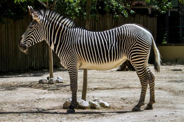 Закройте вверх по взгляду животного зебры на зоопарке.