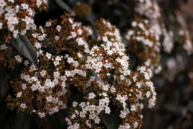 ガマズミ属の木の花