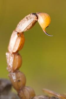 Буйный скорпион жало хвост
