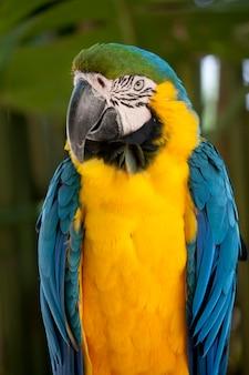 青と黄色のコンゴウインコ