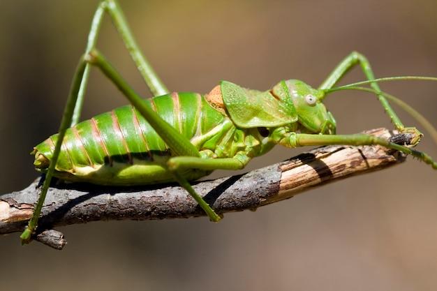 緑のブッシュクリケット