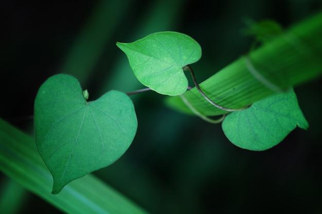 Листья в форме сердца крупным планом