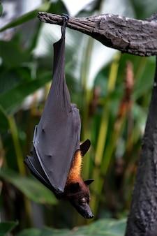 Летучая мышь в дереве в бали индонезия