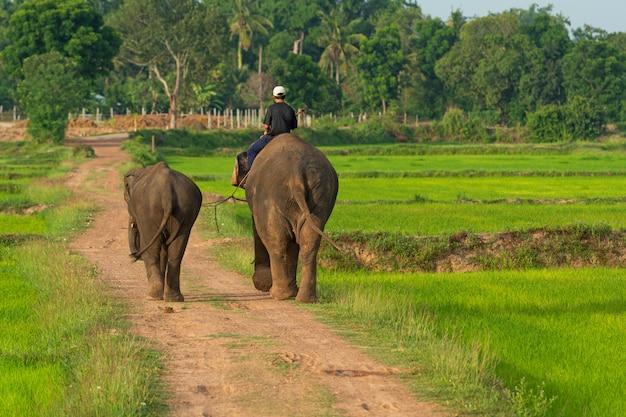 Человек на слоне в рисовых полях