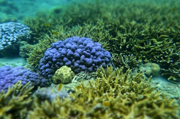 ミャンマーのコックバーン島の海の下の脳サンゴ