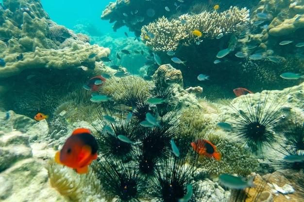 ミャンマーの海の下のウニ