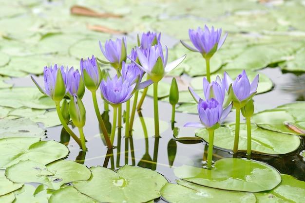Макро цветок лотоса