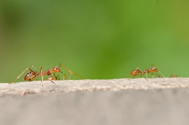 マクロ赤アリ