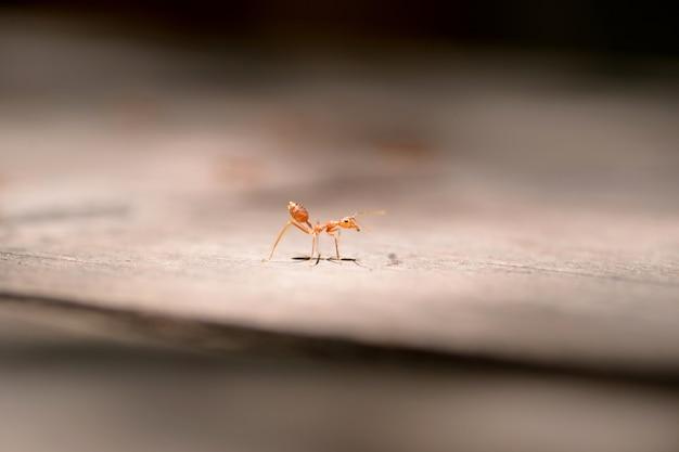 Макро красный муравей