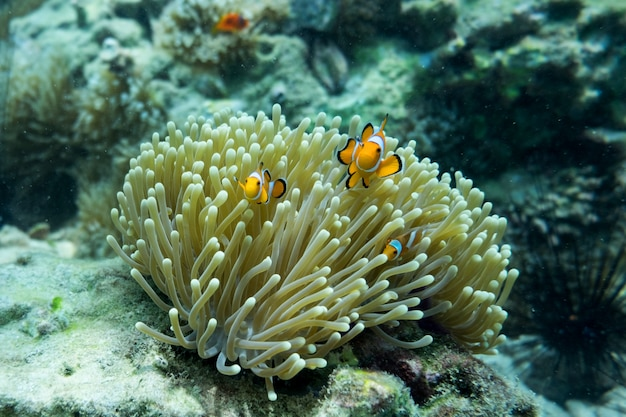 Оранжевая рыба-клоун