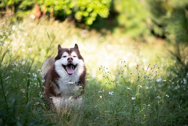 森を歩く美しいシベリアンハスキー犬