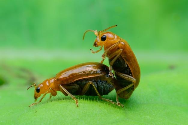 Жук размножается на зеленом листе