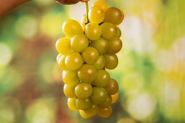Урожай винограда в руках фермера
