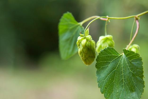 Зеленые свежие конусы хмеля для делать пиво и крупный план хлеба, аграрную предпосылку.