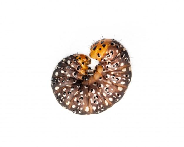 黒、オレンジと黄色のワーム毛虫の動物を白で隔離します。