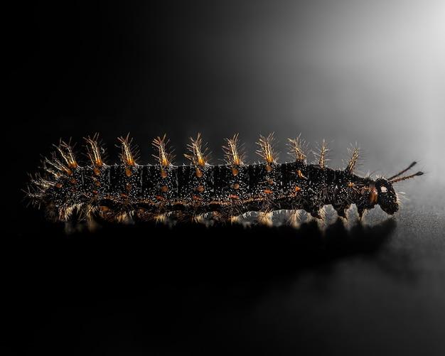 黒、オレンジと黄色のみみずの毛虫動物は黒に分離します。